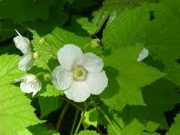 plants native to new mexico the wild garden hansen u0027s northwest native plant database