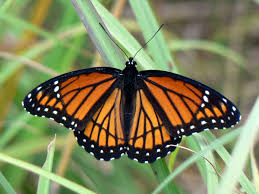 viceroy butterfly wikipedia