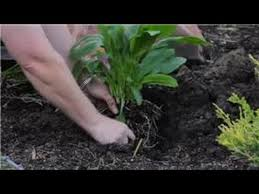 lilies u0026 more how to plant calla lily flowers youtube