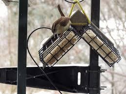 one peanut can go a long way for a carolina wren feederwatch