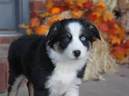australian shepherd idaho akc australian shepherd puppy blueberry ksl com