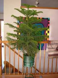 how to care for norfolk island pine araucaria