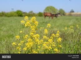 horses on grass pasture yellow image u0026 photo bigstock