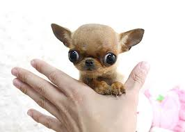 long hair chihuahua hair growth what to expect the truth about the teacup chihuahua animalso