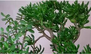 plante de bureau feng shui les plantes dépolluantes au bureau à la maison le du fengshui