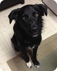 bearded collie and border collie mix steve adopted dog courtesy listing austin tx border
