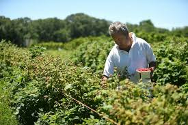 the day ripe for the picking news from southeastern connecticut