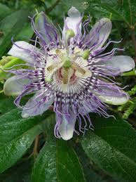 native plants of nc wild things passionflower the large purple fairy of a flower
