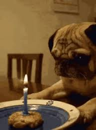 Happy Birthday Pug Meme - happy birthday pug meme gifs tenor