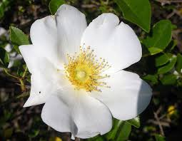 State Flower Of Colorado - georgia state flower cherokee rose