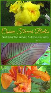 canna lilies canna flower bulbs tips for planting growing and storing canna