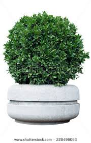 ornamental shrub stock images royalty free images vectors