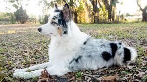 australian shepherd long tail australian shepherd q u0026a why do my aussie u0027s ears stand up youtube