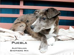 boxer dog adoption los angeles rehabbed puppies from fake oc rescue go up for adoption cbs los