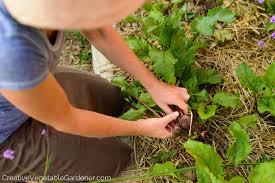 Gardening Tips For Summer - creative vegetable gardener secrets of summer succession planting