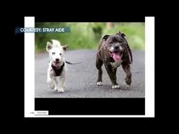 Blind Dog And His Guide Dog Blind Jack Russell Terrier And His U0027guide Dog U0027 Need A New Home