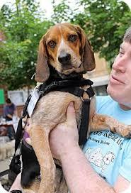 bluetick coonhound beagle boomer in delhi foster adopted dog cincinnati oh beagle
