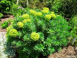evergreen name that plant