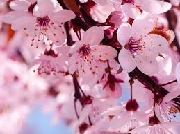 cherry blossom meaning cherry blossoms and ink addiction
