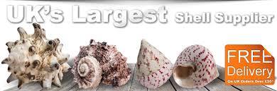 where to buy seashells online shells buy sea shells onlineshells co uk