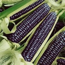 ornamental corn seeds hopi blue improved