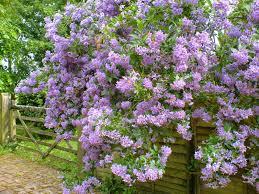 life between the flowers climbing potato vine solanum crispum