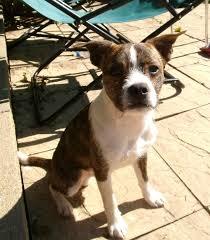 jack russell american pitbull terrier mix chicago il boston terrier jack russell terrier mix meet monkey