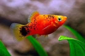 freshwater fish indo marine center live fish export