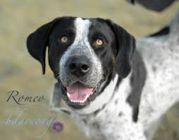 bluetick coonhound exercise view ad bluetick coonhound mastiff mix dog for adoption wyoming
