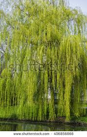 weeping willow tree stock images royalty free images vectors