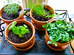 Herbs Indoors by How To Grow Herb Indoors With 11 Easy Tips Indoor Plants Expert