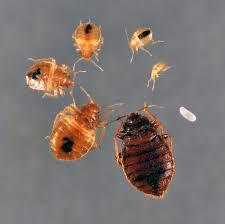Bed Bugs Smell Black Diamond Bed Bug Faq