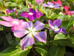 Vinca Flowers Vinca Flower Backgrounds Pictures Images And Stock Photos Istock