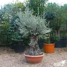 25 trending olive trees for sale ideas on