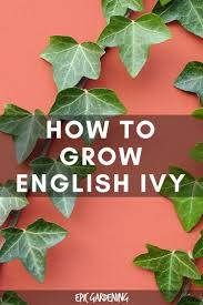 best 20 ivy plants ideas on pinterest pothos plant plant care