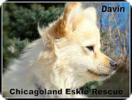 american eskimo dog for sale ontario elmhurst il pomeranian american eskimo dog mix meet davin a