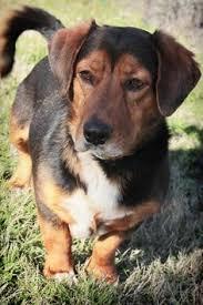 5 year old australian shepherd pepper clay county animal shelter in henrietta texas 5 year