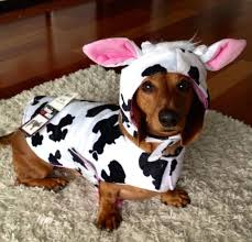Weiner Dog Halloween Costumes 23 Love Images Costumes Animal