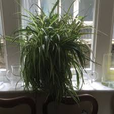 Spider Plant Large Spider Plant In Ikea Pot Worth 9 Very Healthy In Penarth
