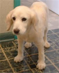 Comfort Golden Retriever Breeders View Topic Breaking Me 0nly Made Me Stonger Romance Rp
