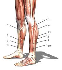 Human Anatomy Quizes Foot Ankle Lower Leg Anatomy Quiz Proprofs Quiz