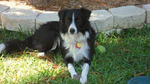 american eskimo dog giving birth katie the beautiful border collie adopted the dog liberator