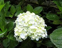 market manila hydrangeas in bloom flowers