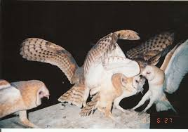 Barn Owls Help Clean Up Rodents Naturally Green Blog Anr Blogs