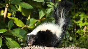 skunk tail up ngsversion 1411260410680 jpg