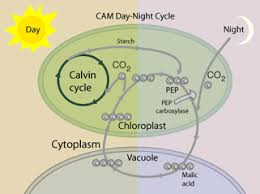 Where Do The Light Independent Reactions Occur The Calvin Cycle