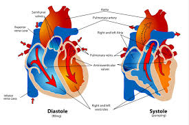 Heart Anatomy And Function Phases Of The Cardiac Cycle When The Heart Beats