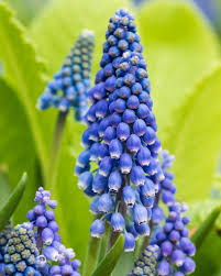 grape hyacinth in bloom fine art flower photography print for