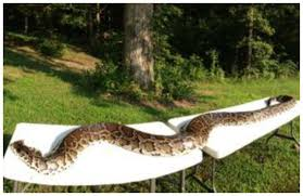 warren county man kills a nearly 15 foot python in his yard