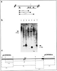 myomodulin gene of lymnaea structure expression and analysis